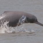 river dolphin in assam